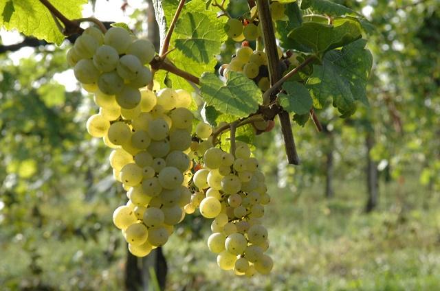 Veneto, contributi per il settore vitivinicolo