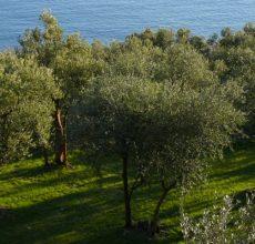 Olivi_in_Liguria