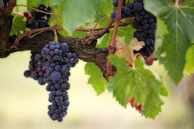 Vendemmia 2020: raccolti in Italia 70 milioni di quintali di uve da vino